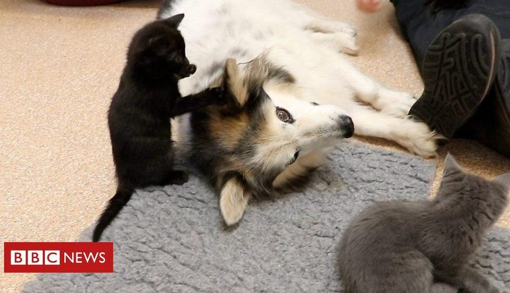 Kittens Border Collie ends up being foster mum to six abandoned kittycats
