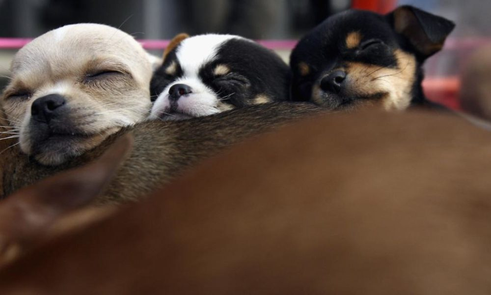 Dogs  puppies  baby dogs  baby puppies CDC: Young puppies may be making people ill