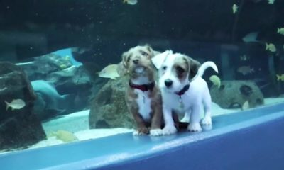 Dogs  puppies  baby dogs  baby puppies These young puppies got to frolic in a substantial fish tank. The fish didn't appear to care