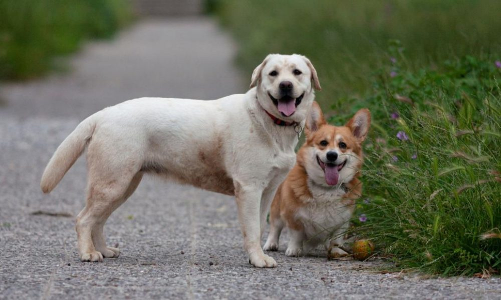Dogs  puppies  baby dogs  baby puppies Labs are still America's favorite pet, but corgis are getting on them