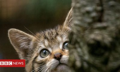 Kittens 'Wear face coverings' near Scottish wildcat kittycats